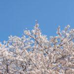 六本木ヒルズの桜・春まつり・子どもと一日楽しめる!