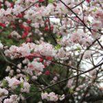 新宿御苑のお花見情報!&こっそり教える穴場スポット